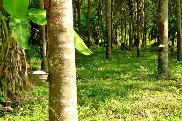 Rubber Plantation, Koh Yao Noi