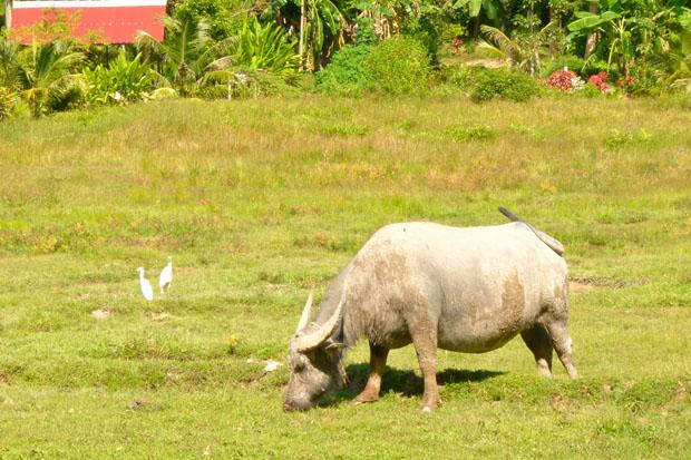 Water Buffalo, Koh Yao Noi